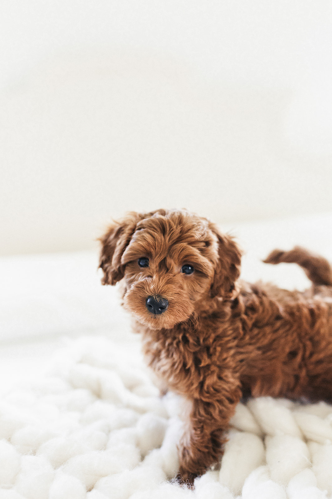 Toy Goldendoodle F1