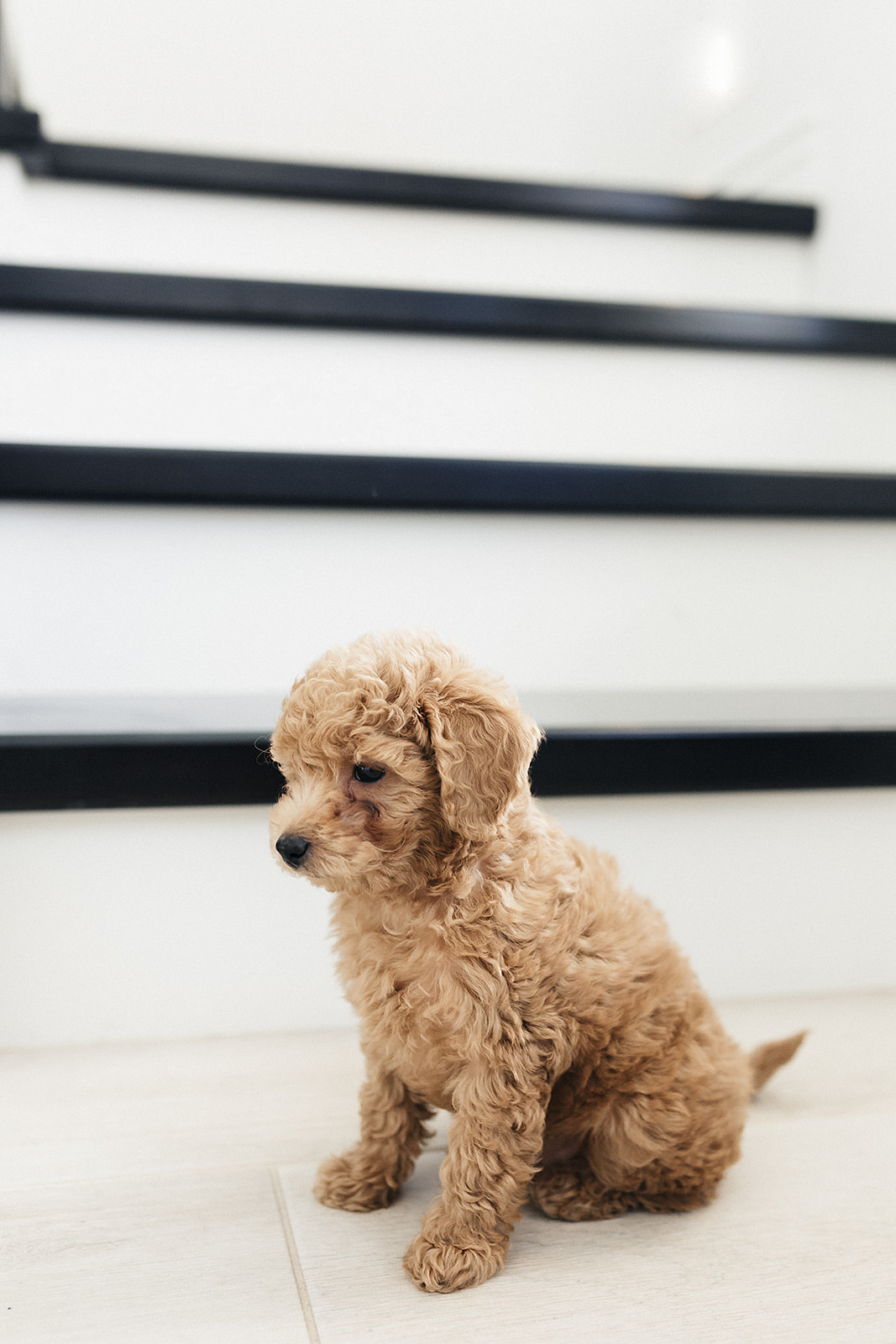 Toy Goldendoodle - Dog Mom Status! - Cooking with Confetti